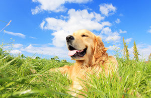 Your Dog's Heat Cycle