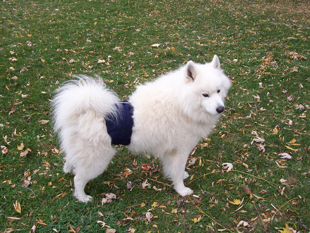 Dogs in Belly Bands: Blue Band
